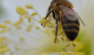 Pollen sur hellébore